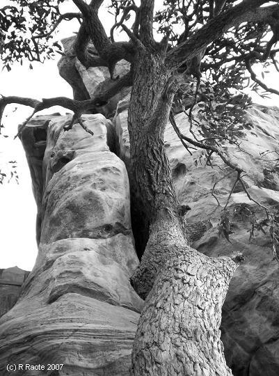 Badami tree